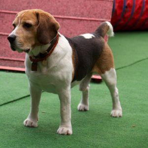 beagle vor der a-wand