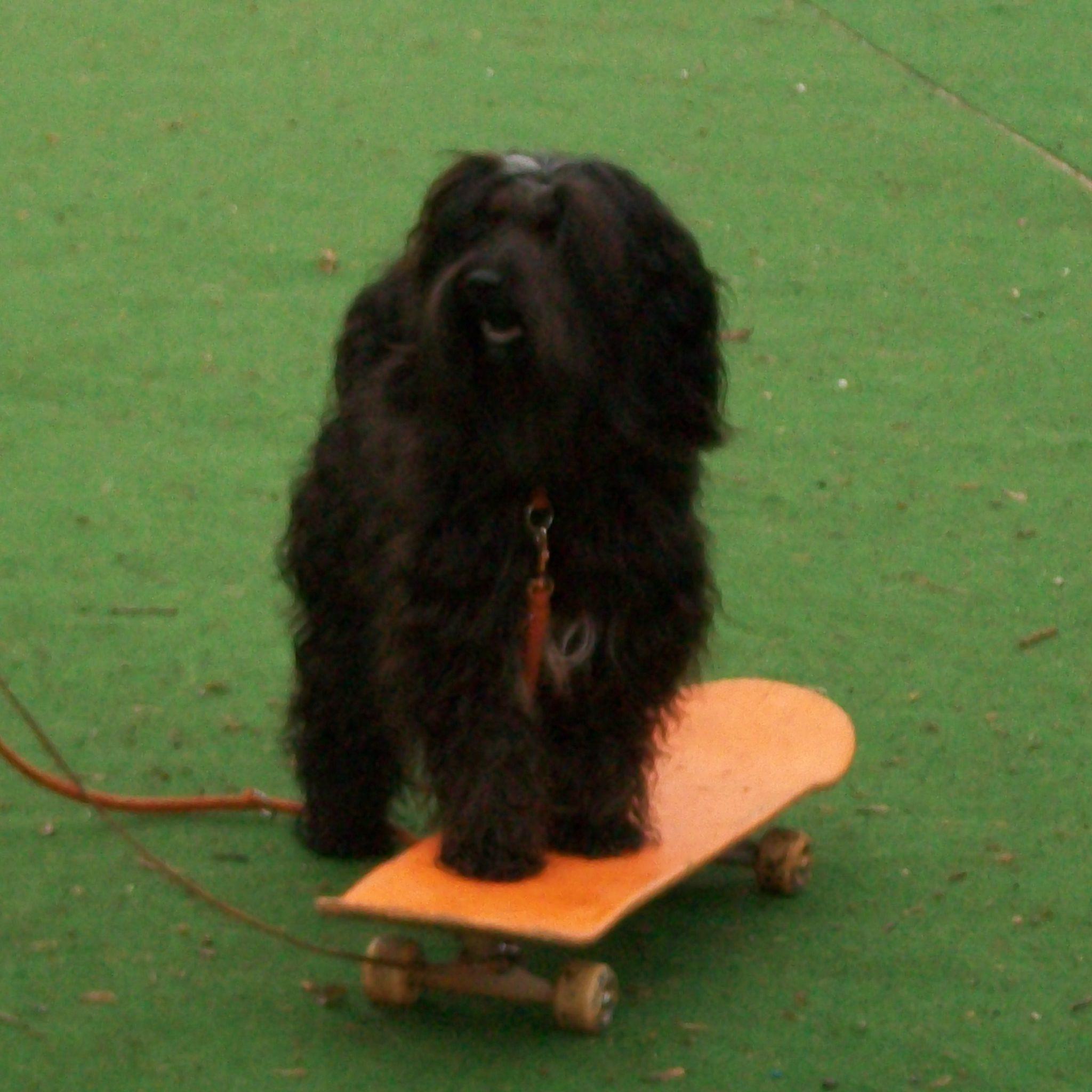 Hund auf Skateboard