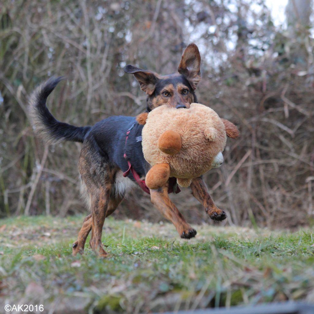 c)akt2016, hund schüttelt spielzeug