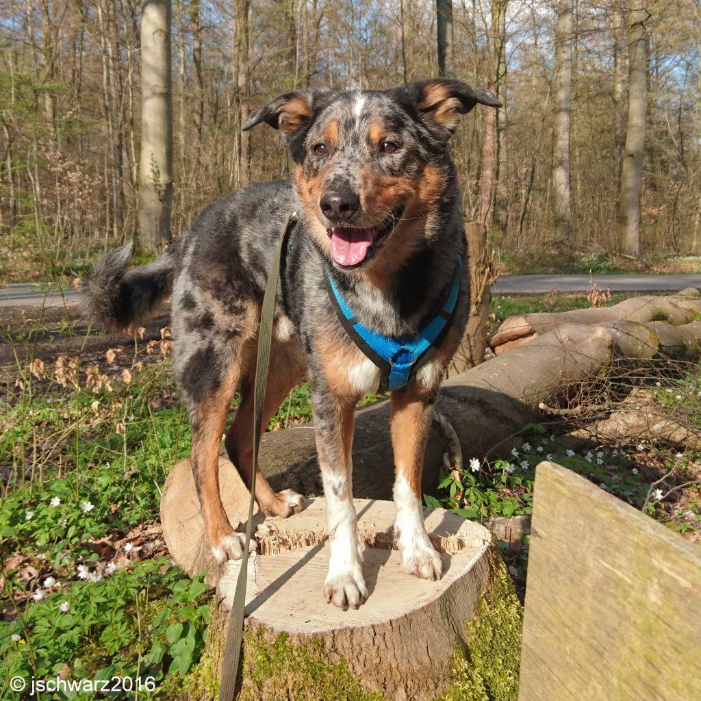 jschwarz2016, Hund auf Holzbock