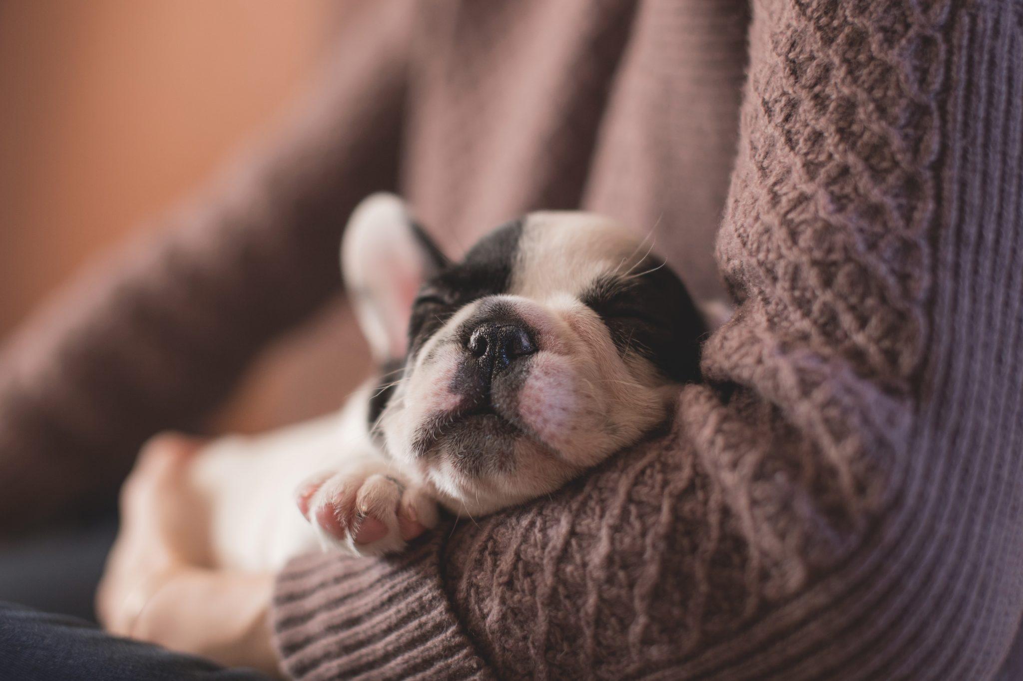 Babyhund schläft in den Armen seines Menschen
