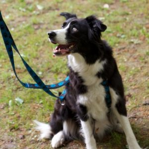 Bordercollie an der Leine