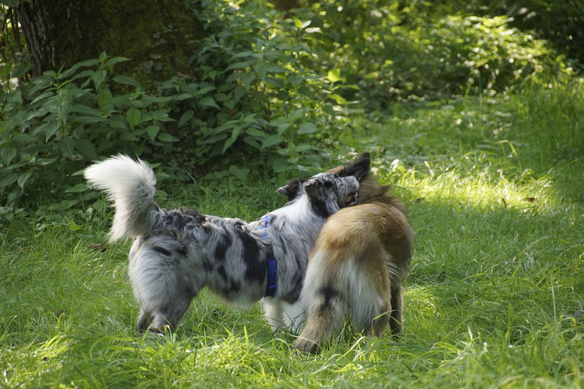 Hunde untereinander, 2 Hunde kommunizieren wunderbar