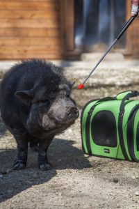 schweinchen mit targetstick