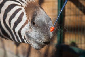 zebra beim targettraining