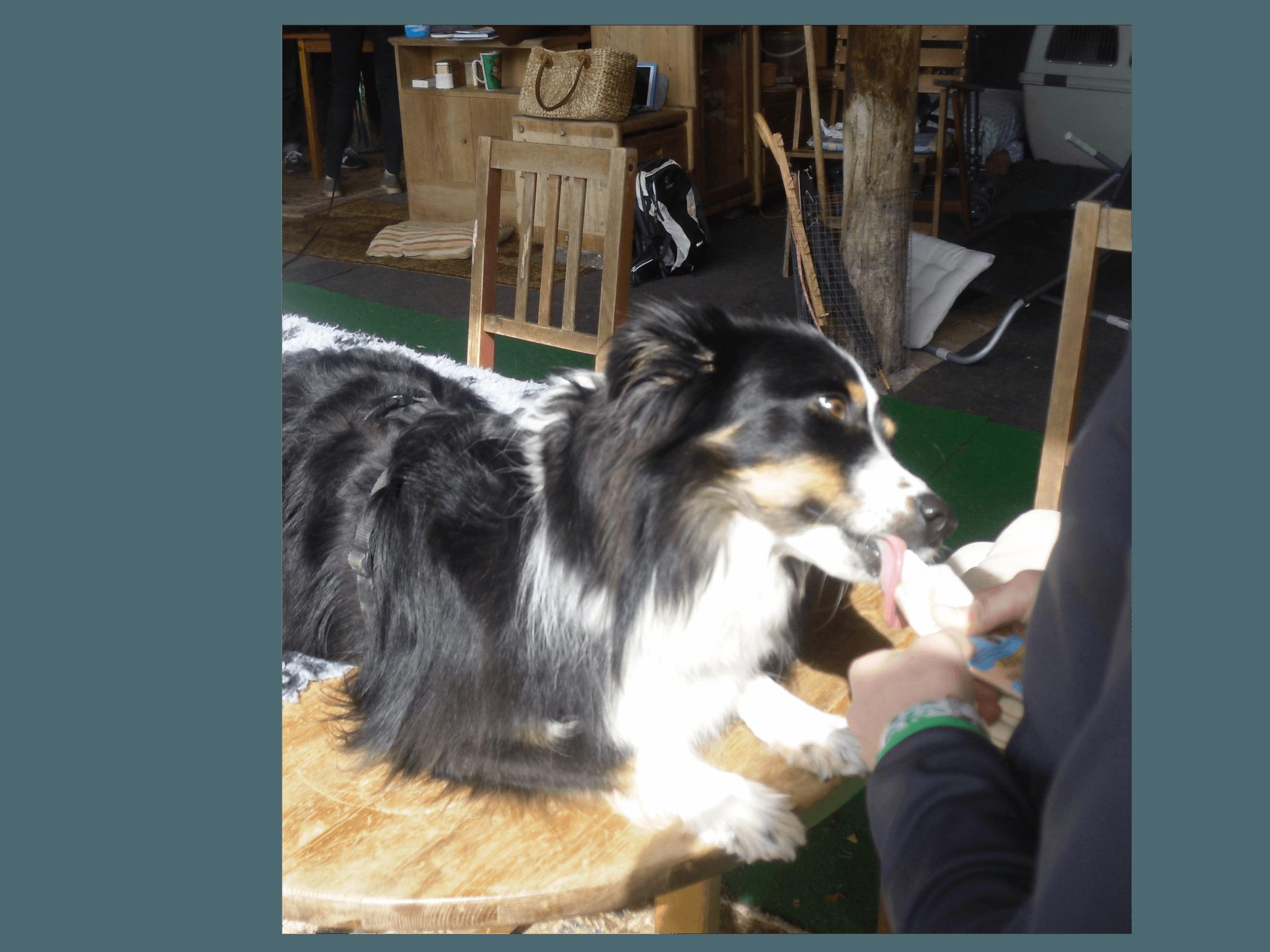 aussie beim tierarzttraining