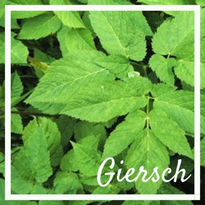 Giersch, know wau Kräuterwanderung