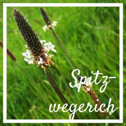 Spitzwegerich, know wau Kräuterwanderung